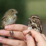 Lincoln's Sparrow vs. Song Sparrow – PSU Fall Banding