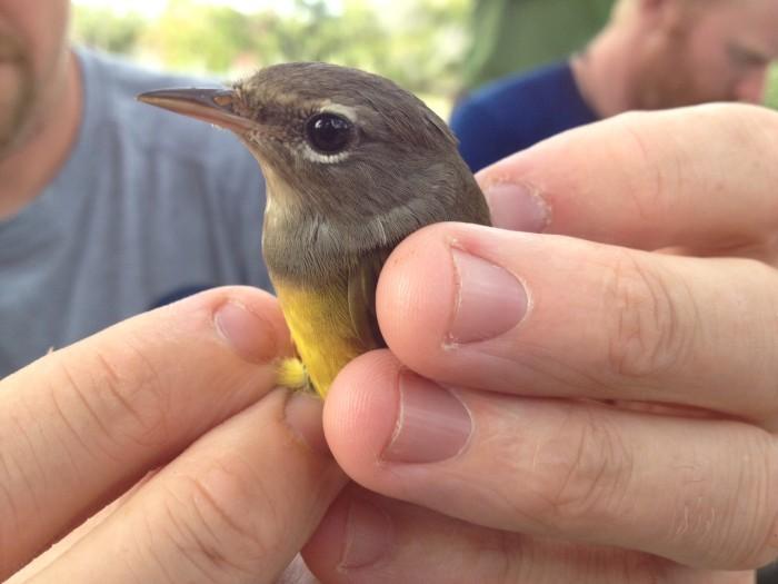 MacGillivray's Warbler (Photo by Josh Lefever)
