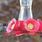 Black-chinned Hummingbird – 2nd PA State Record!