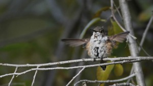 Rufous Hummingbird - adult female in State College, PA (Photo by Alex Lamoreaux)