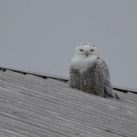 Snowy Owl - Shank Door, Berks County, PA (Photo by Alex Lamoreaux)