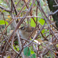 Marsh Wren--same individual as in id quiz photo Kenilworth Park, Washington, DC Photo by Jordan Rutter