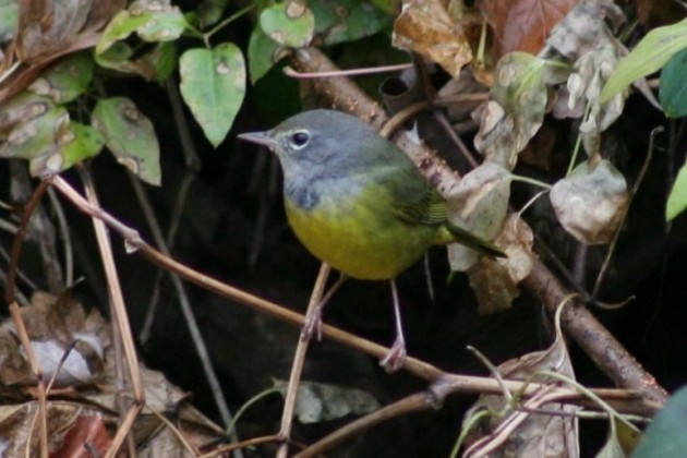 Unknown Geothlypis Warbler - Harrisburg, PA (Photo by Sue Hannon)