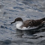 Rain with a chance of shearwaters – Lewes Paulagic