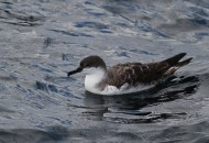 Great Shearwater (Photo by Alex Lamoreaux)