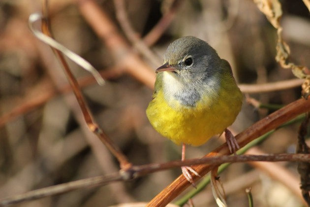 MacGillivray's Warbler at Highspire Park, PA (Photo by Alex Lamoreaux)