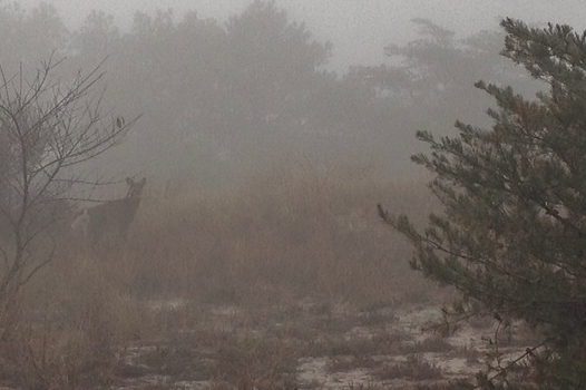 A deer in the fog at Cape Henlopen SP (Photo by Alex Lamoreaux)