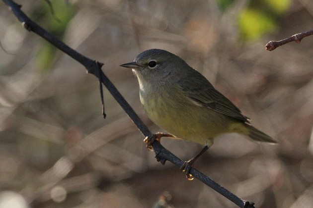 Orange-crowned Warbler (Photo by Alex Lamoreaux)
