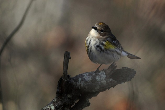 Yellow-rumped Warbler (Photo by Alex Lamoreaux)