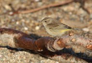 """Western"" Palm Warbler foraging during winter (Photo by Alex Lamoreaux)"