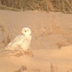 Weekend Digiscoping Spotlight 5 – Snowy Owls in Sussex County, DE