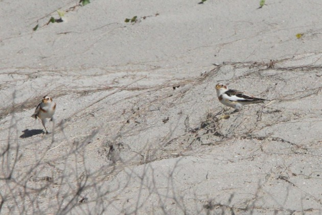 Two Snow Buntings (Nathan Goldberg)