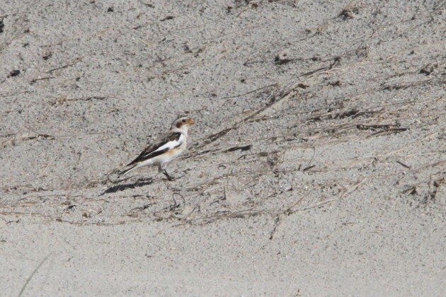 Snow Bunting (Nathan Goldberg)