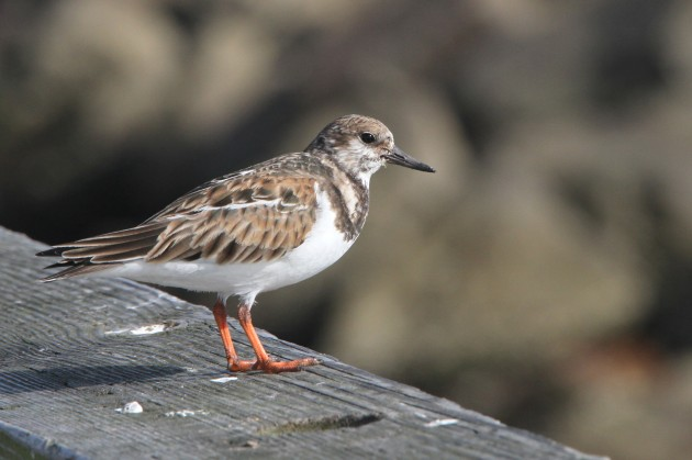Ruddy Turnstone (Nathan Goldberg)