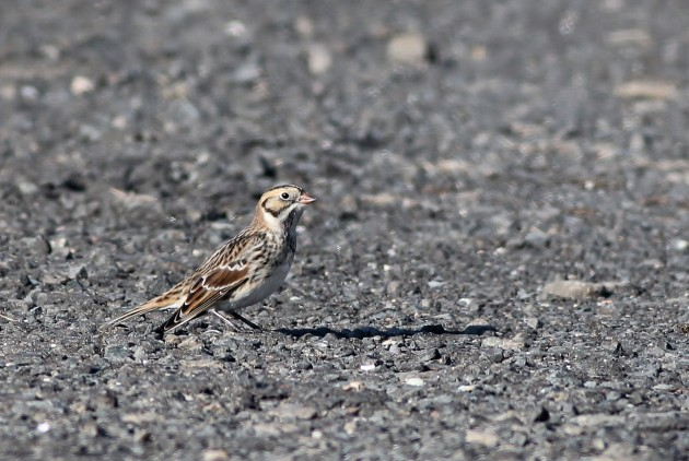Lapland Longspur - Hammonasset Beach SP (Photo by Alex Lamoreaux)