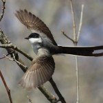 Fork-tailed Flycatcher – Hadlyme, Connecticut