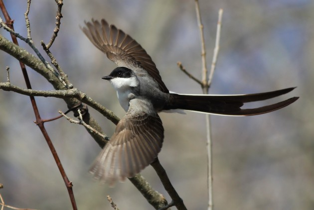Fork-tailed Flycatcher - immature male in Hadlyme, CT (Photo by Alex Lamoreaux)