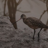 Marbled Godwit at Duck Hollow in Pittsburgh (Photo by Alex Lamoreaux)