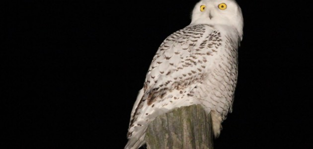Snowy Owl along CIrcleville Rd, Centre County, PA (Photo by Alex Lamoreaux)