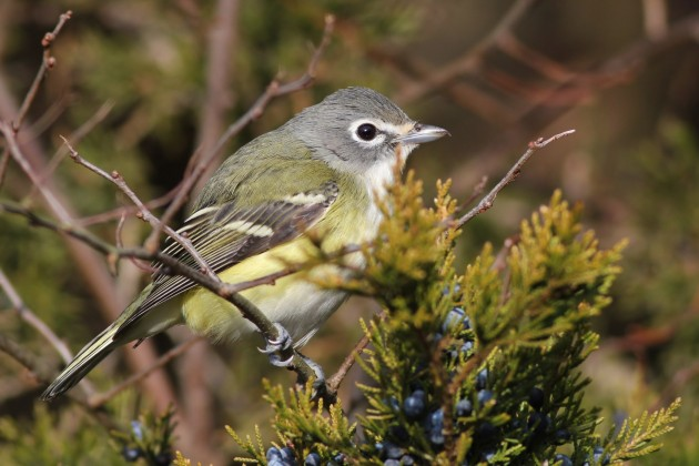 Blue-headed Vireo - Hammonasset Beach SP (Photo by Alex Lamoreaux)