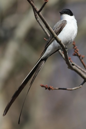 Fork-tailed Flycatcher (Photo by Alex Lamoreaux)