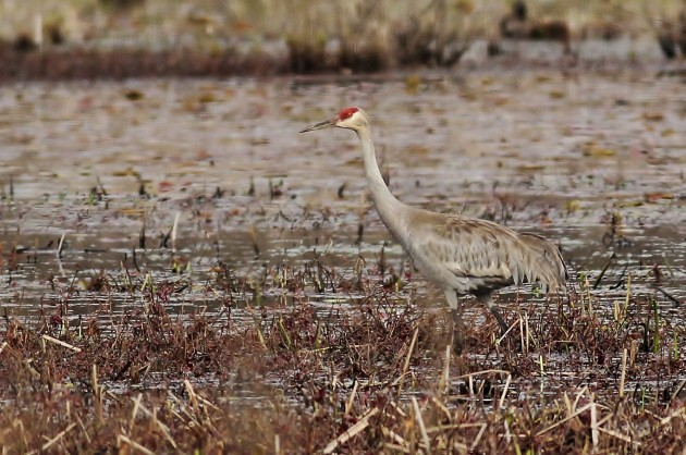 Sandhill Crane at Curtin Wetlands, Centre County (Photo by Alex Lamoreaux)