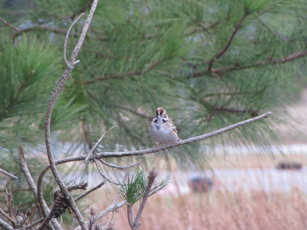 An unexpected member of a big mixed species flock at Cape Henlopen in November.