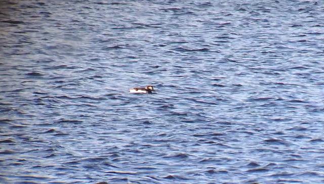 Long-tailed Duck - Tim Schreckengost