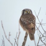 Superb Owl Sunday: Digiscoping Spotlight 7