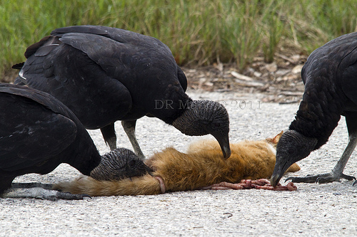 Black Vultures scavenging a road-killed domestic cat in Polk County, Florida (photo by David Mabe)