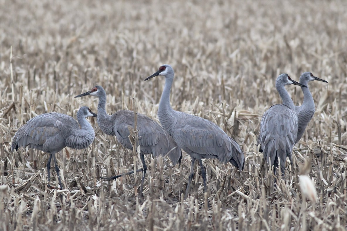 The apparently over-wintering flock of 5 Sandhill Cranes along Tadpole Rd in Centre County, PA (Photo by Alex Lamoreaux)