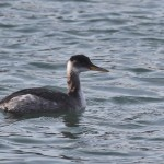 Winter Red-necked Grebe – Centre County, PA