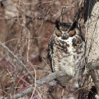 Great Horned Owl roosting at Whitehall Farms (Photo by Alex Lamoreaux)