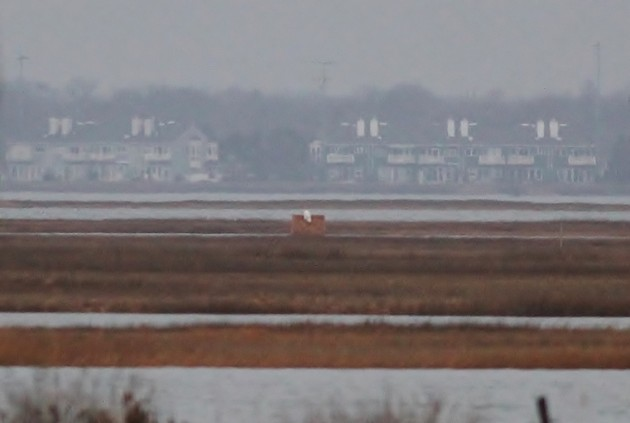 This very distant owl was perched in the marsh out from the Cedar Beach Marina on Long Island, NY (eBird checklist). (Photo by Alex Lamoreaux)
