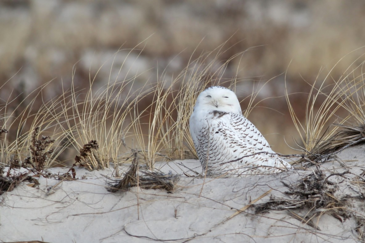 Snowy Owl at Jones Beach SP (Photo by Alex Lamoreaux)