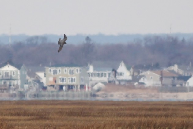 Gyrfalcon diving towards some American Black Ducks (Photo by Alex Lamoreaux)