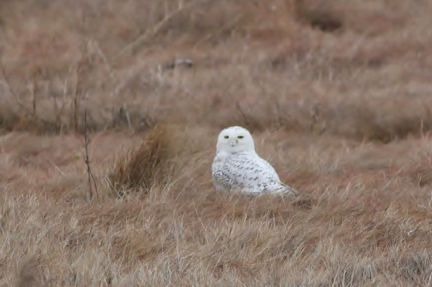 This Snowy Owl was along the Wildlife Drive at Edwin B. Forsythe NWR in NJ (eBird checklist). (Photo by Alex Lamoreaux)