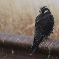Peregrine Falcon - immature (Photo by Alex Lamoreaux)