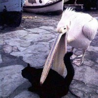 Austrailian White Pelican attempting to eat cat? I think we all know how this will end....