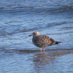 Digiscoping at the Indian River Inlet – a Phone Skope Big Year 2014 Update