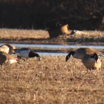 Barnacle Goose in Delaware
