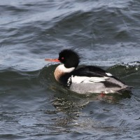 Red-breasted Mergansers like this male are common at the inlet (Photo by Alex Lamoreaux)