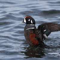 Harlequin Duck stretching (Photo by Alex Lamoreaux)
