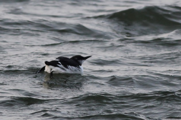 Common Murre on Sunset Lake, Wildwood Crest, NJ (Photo by Alex Lamoreaux)