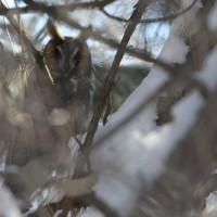 The first Long-eared Owl (Photo by Nathan Goldberg)