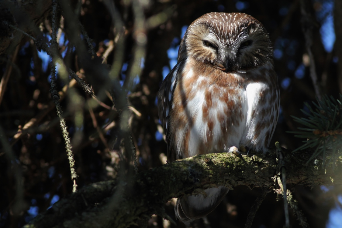 Northern Saw-whet Owl roosting in a spruce behind my apartment in State College, PA (Photo by Alex Lamoreaux)