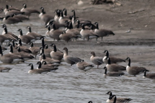 Pink-footed Geese among Canada Geese (Photo by Alex Lamoreaux)