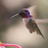 Adult male Costa's Hummingbird (Photo by Nathan Goldberg)