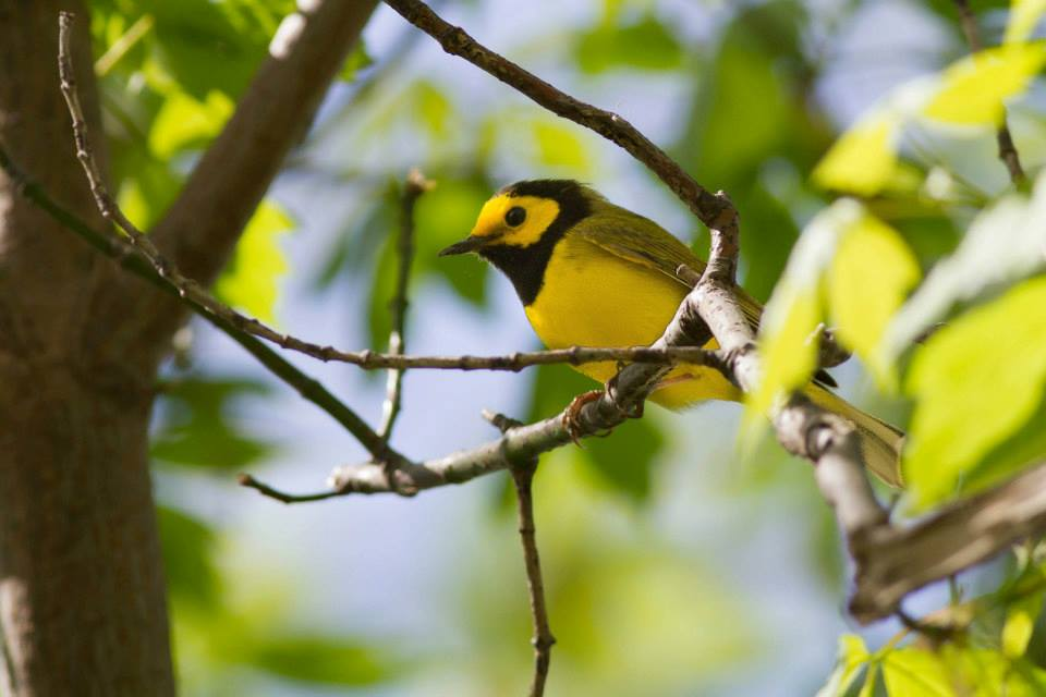 Hooded Warbler - Anna Fasoli