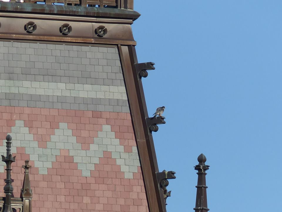 Peregrine Falcon on Memorial Hall
